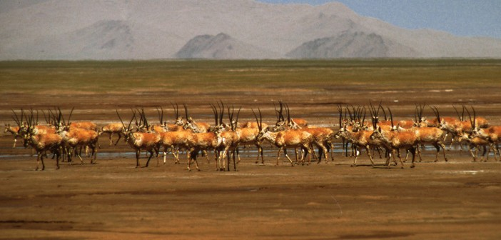 Tibeti antilop