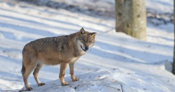 A grey wolf isolated in the snow while looking at you