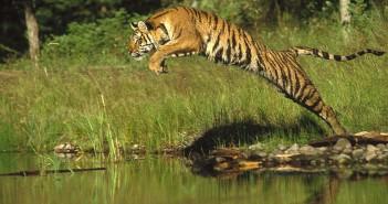 siberian-tiger-panthera-tigris-altaica-tim-fitzharris