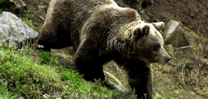 Barna medve jár az Aggteleki Nemzeti Park területén