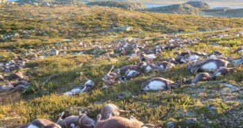 reindeer-dead-norway-ap
