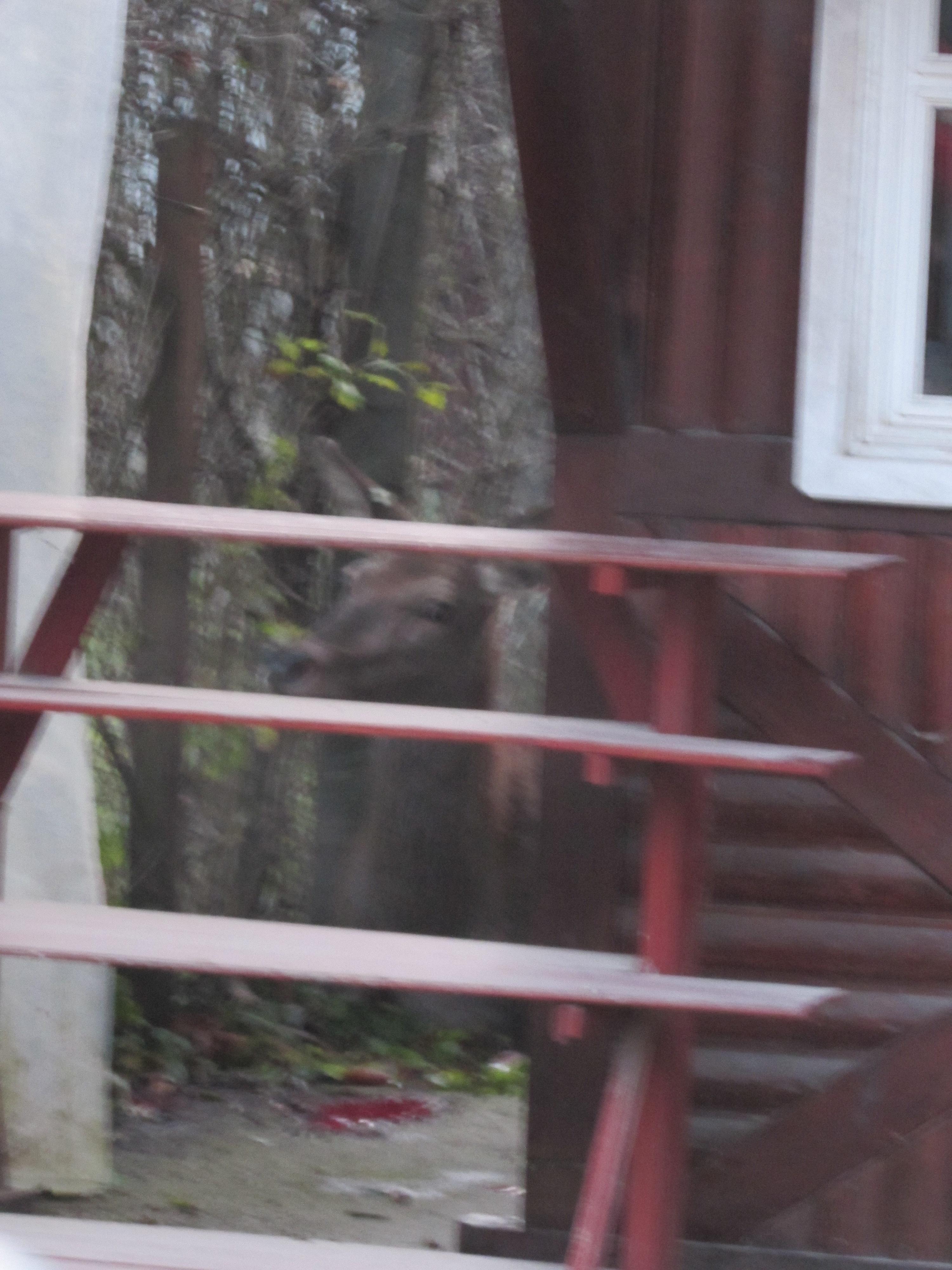 A két bódé között fekvő szarvastehén. Szabon Gábor felvétele. Elmondása szerint a keze nagyon remegett a történtek miatt, ezért lett ez a fotó ilyen homályos