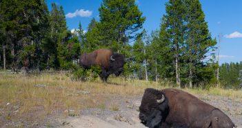 Két amerikai bölény a Yellowstone Nemzeti Parkban