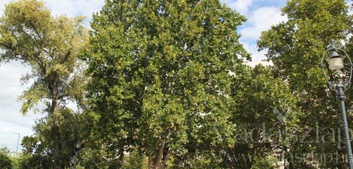 Elbukott a magyar platán az év fája versenyen