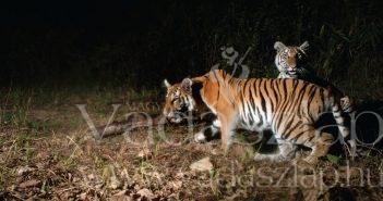 A 2016-ban rögzített és a Panthera által idén március 28-án közzétett felvételen két indokínai tigris látható Thaiföld keleti részén (Fotó: AFP)