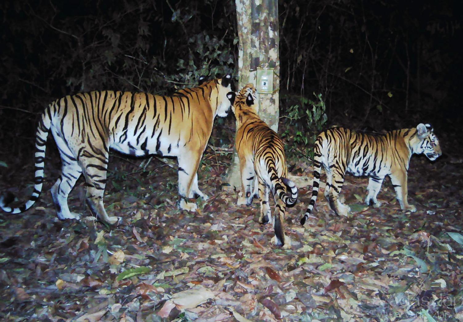 Három indokínai tigris Thaiföld keleti részén (Fotó: AFP)