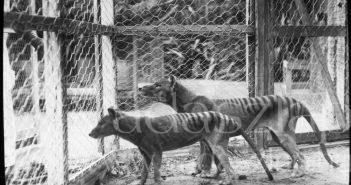 A Tasmán Múzeum és Művészeti Galéria fotója a Hobarti Állatkertben élt erszényes farkasokról. (Fotó: AFP)