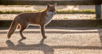 48132147 - fox in shade by fence
