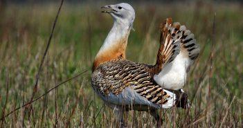 Egy túzokkakas dürgésre – a madarak párzási szertartása – alkalmas helyet keres a Győr-Moson-Sopron megyei Lajta folyó mentén. (MTI Fotó: Kovács Attila)