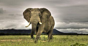 afrikai-elefant