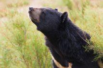 Örvös medve – illusztráció