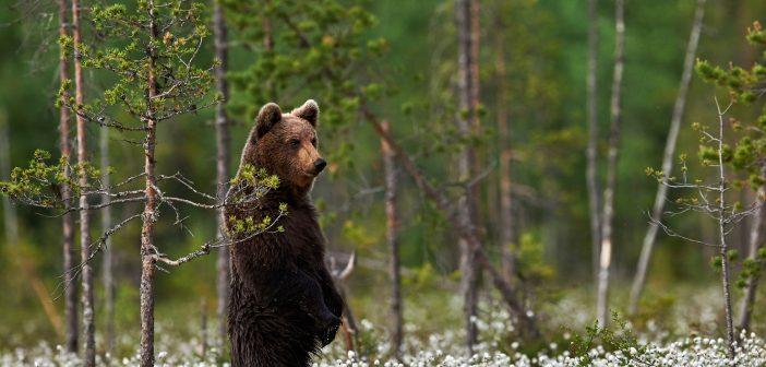 Székelyföldön nem értékesíthető a medve