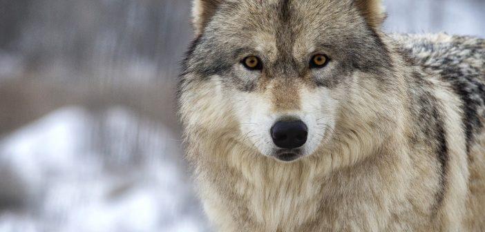 Medve után farkas ügy?