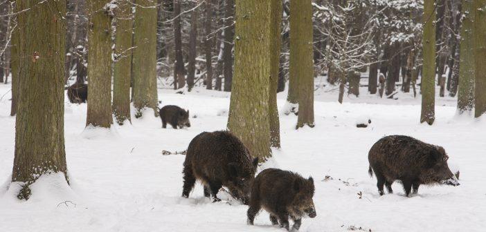 A gazdák 70 százalékkal csökkentenék a vaddisznóállományt Németországban