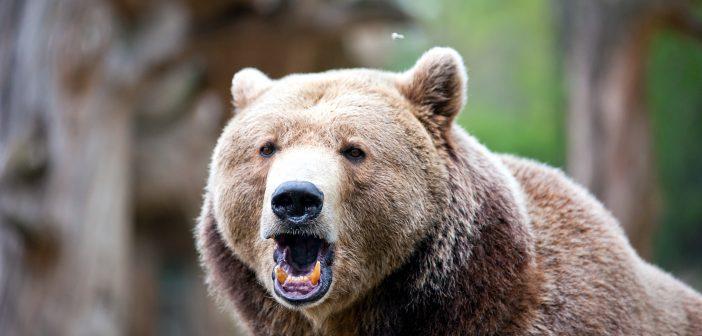 Hétvégén is folytatódott a medveügy