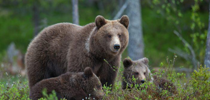 Szakértő mondja: a medvét el kell kerülni!