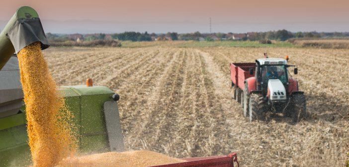 A tavalyinál több kukorica teremhet idén