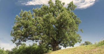 Illusztráció: a Szebeni nagy fa