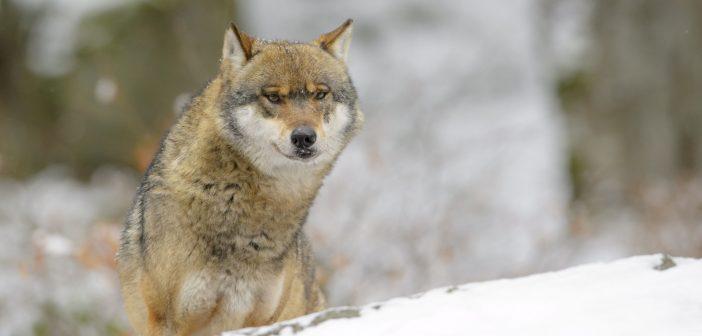 Farkasok a politikában