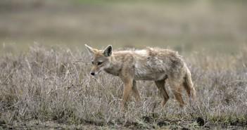 Brown or Golden or Asiatic jackal,  Canis aureus,