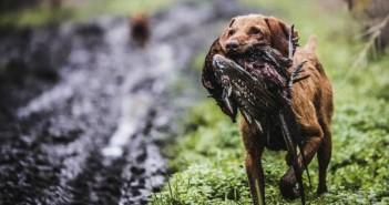 Képzett vadászkutya, aki több száz méterről is odahozza a lelőtt fácánt
