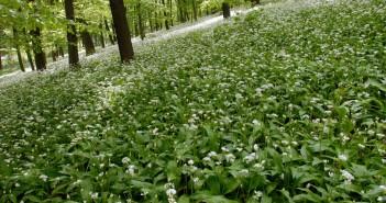 Virágzó medvehagyma-mező a Mecsekben