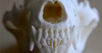 medve koponya