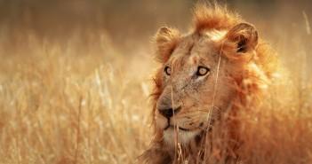 oroszlán_him