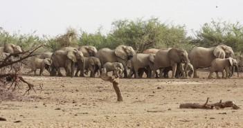 Sivatagi elefántok csordája vizet kutat Mali aszály sújtotta Gourma-régiójában 2009-ben. (Fotó: Reuters/Jake Wall) Sivatagi elefántok csordája vizet kutat Mali aszály sújtotta Gourma-régiójában 2009-ben. (Fotó: Reuters/Jake Wall)