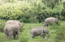 Illusztráció – Ázsiai elefántok