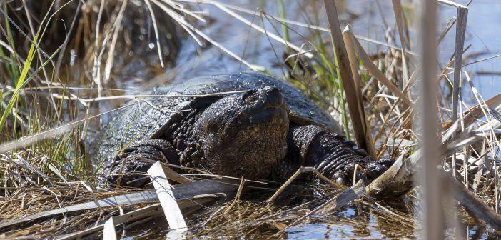 aligátor teknős