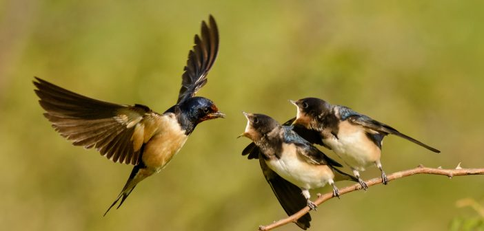 The barn swallow feeds one of its four nestling in flight.