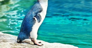 12560212 - little blue pinguin on the rock