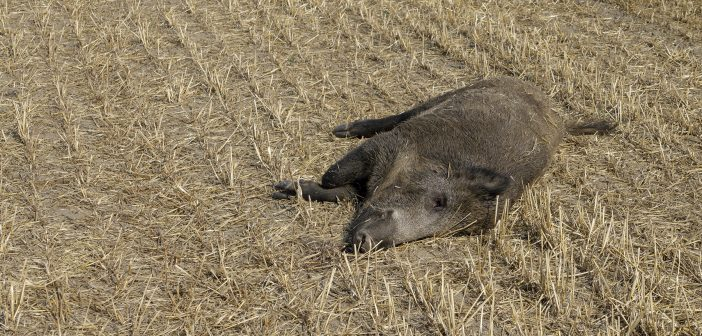 dead boar on harvested field