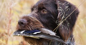 hunting dog keeps duck wing in high grass
