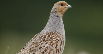 Grey partridge, Perdix perdix, single bird on gravel, Midlands, July 2011