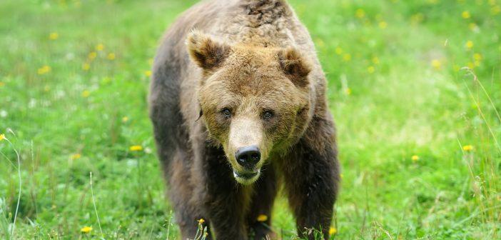 """""""Halálra ítéltek"""" egy medvét"""