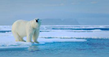 Végveszélyben a jegesmedvék