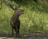 Idén nem a német és osztrák vadászoknak bőgnek a magyar bikák
