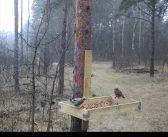 Erdőfelújítás szajkókkal – kinek jó ez?
