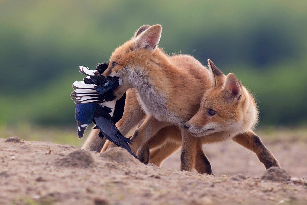 Védjük a rókát!